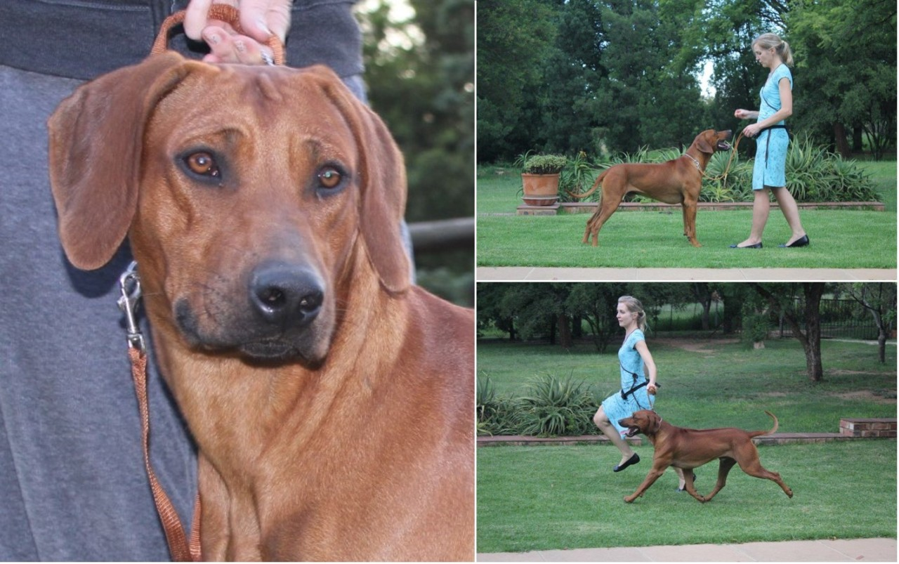 Amberhall Rhodesian Ridgebacks - We remember